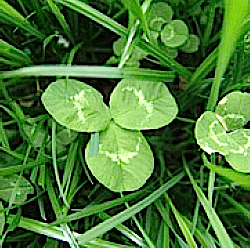 Other Clovers